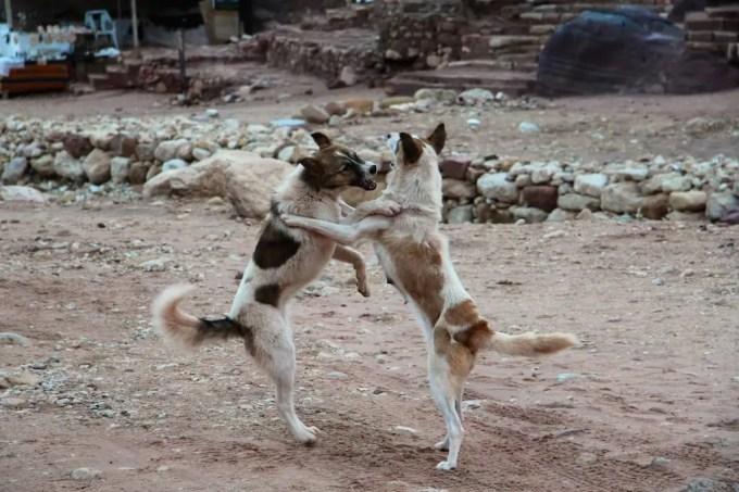 Stray Dog Fight