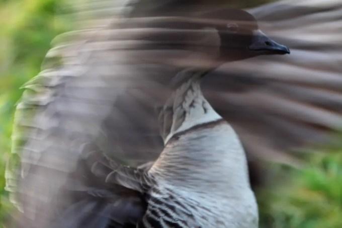 Kaupo Gap Trail Nene Wings