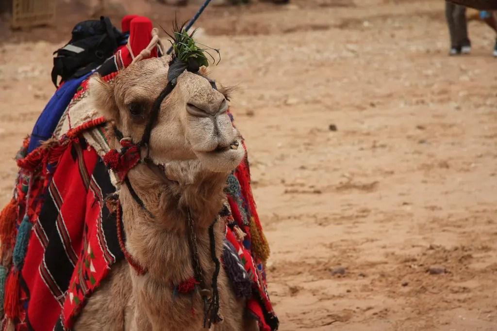 Petra Camel