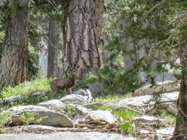 Pacific Crest Trail Desert Deer