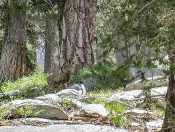 Pacific Crest Trail Desert Deer