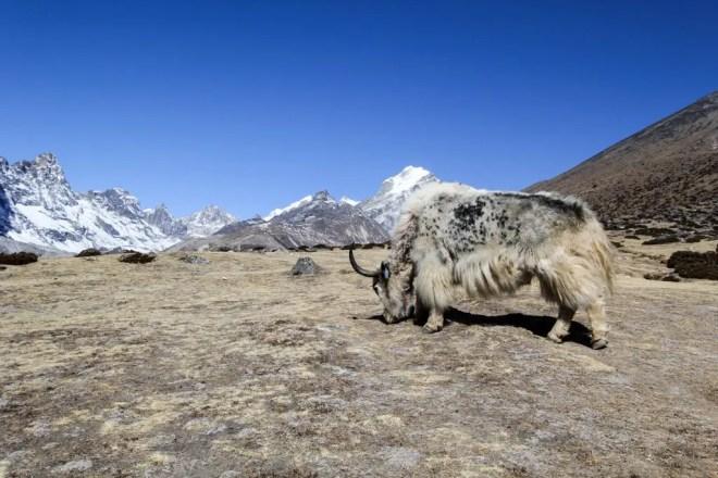 Everest Base Camp Trek Yak