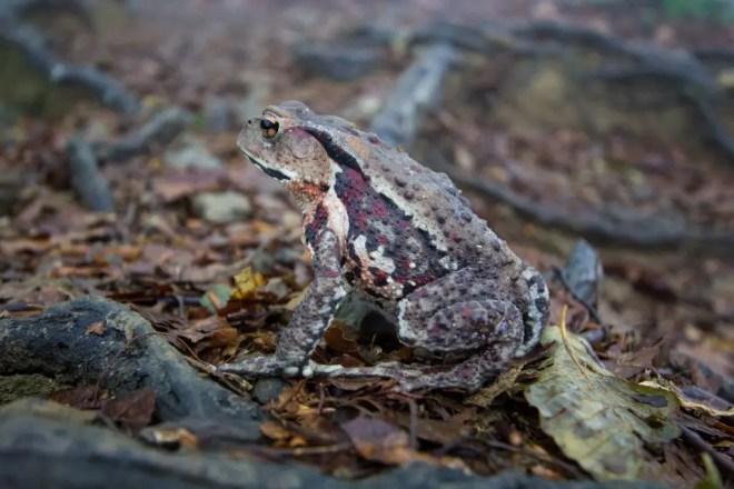 Mt Nosaka Frog