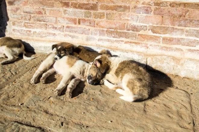Kathmandu Stray Puppies