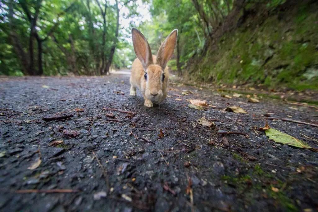 Japan-Hiroshima-Rabbit