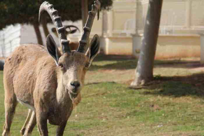 Israel-Ibex-Frong