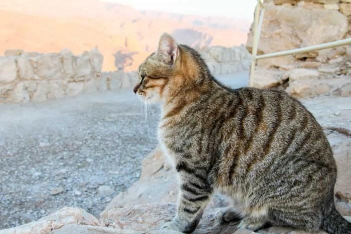 Israel-Masada-Cat