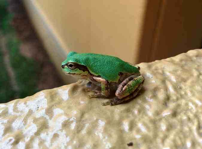 Japan-Fukui-Frog
