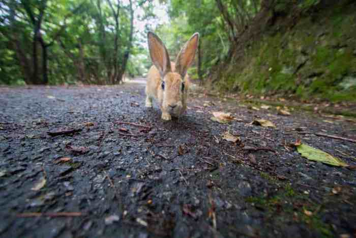 Japan-Hiroshima-Rabbit