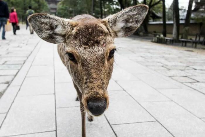 Japan-Nara-Deer