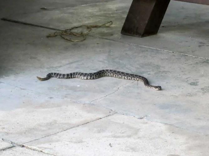 USA-California-Rattlesnake