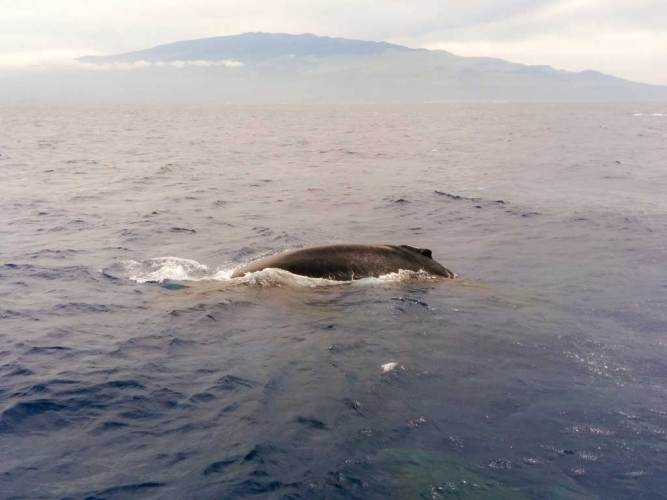 USA-Maui-Humpback