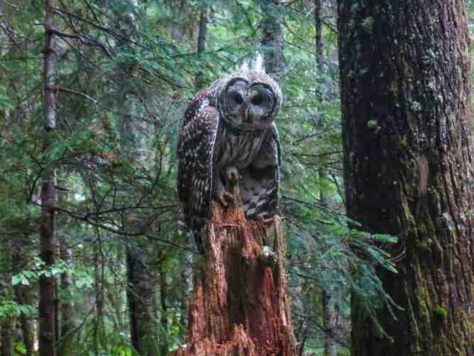 USA-PCT-Washington-Owl