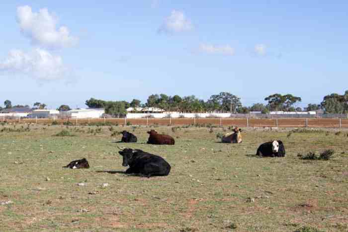 Australia-South-Cows