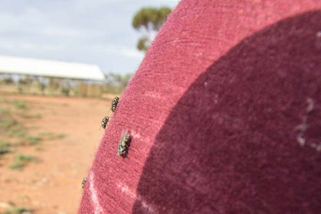 Autralia-Desert-Flies