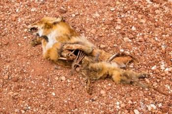 Australia-Outback-Dead-Fox