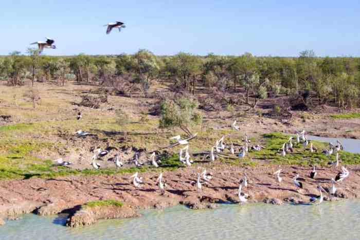 Australia-Outback-Pelicans