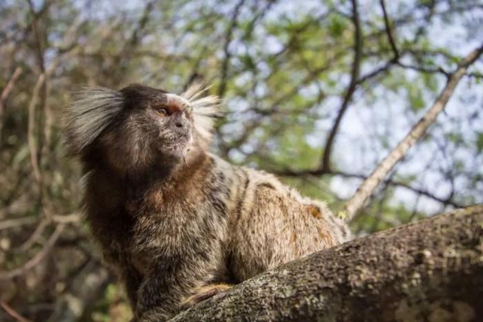 Brazil-Morro-da-Urca-Monkey