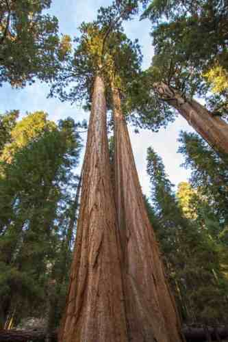 Califonia-Sequoia-National-Park-Trees