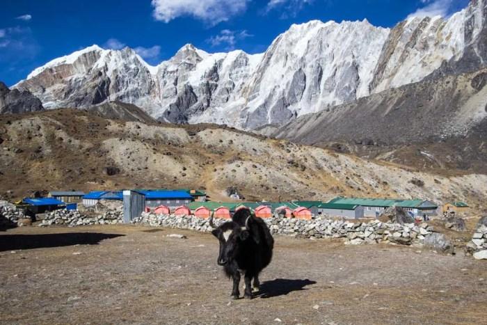 Nepal-Dzongla-Yak