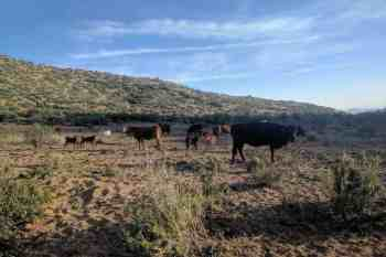 CDT-New-Mexico-Cows