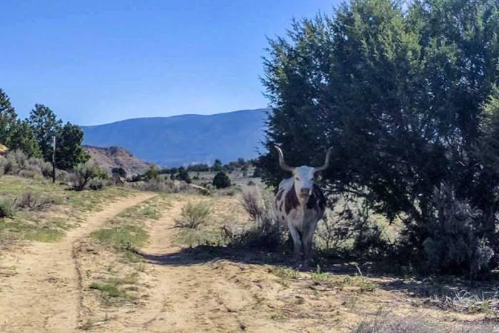 CDT-New-Mexico-Cuba-Cow