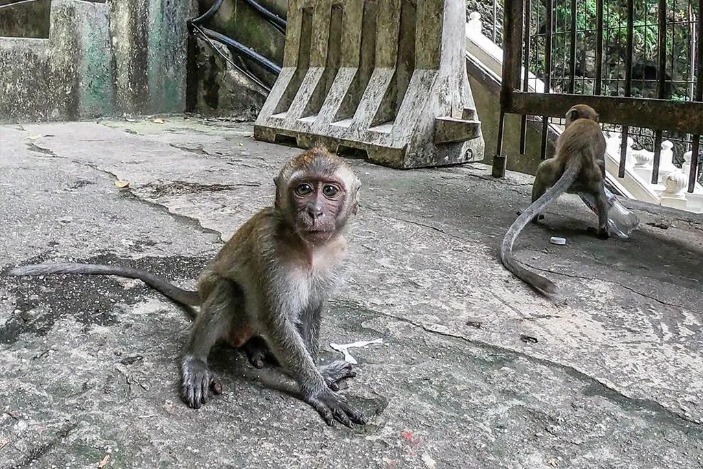 Bantu Cave Monkey