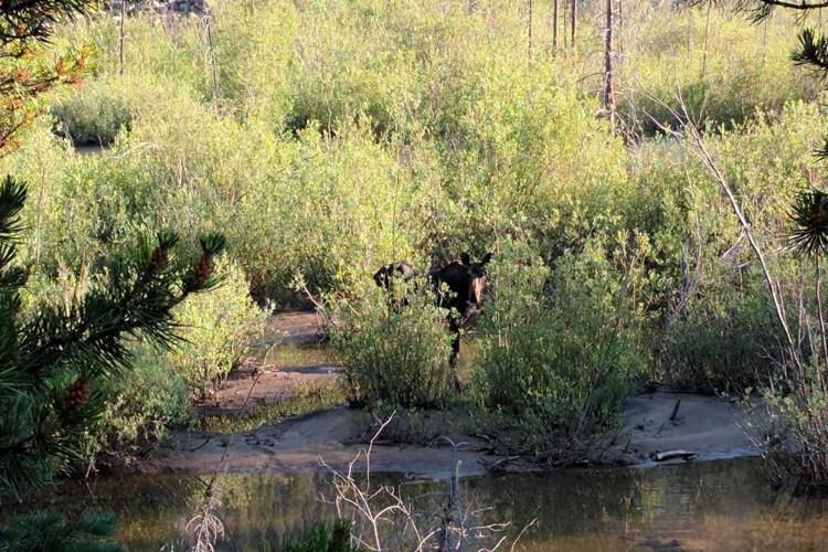 CDT Colorado Moose