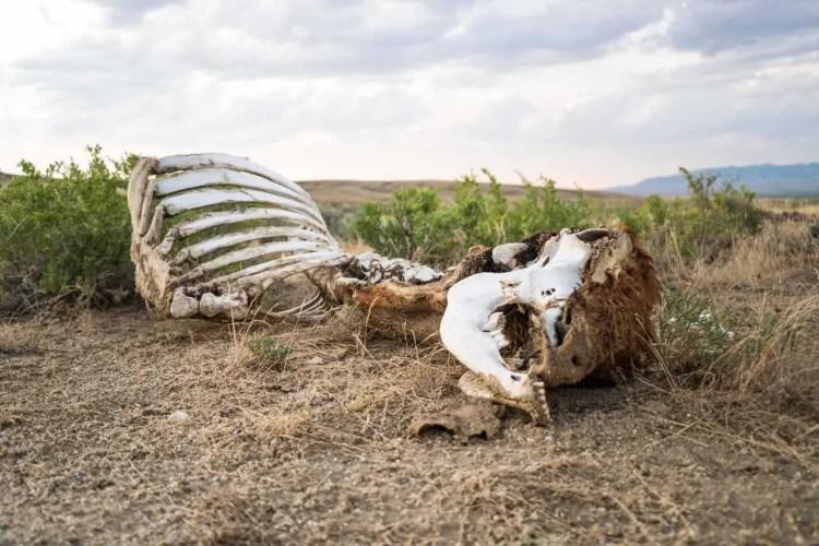 CDT Wyoming Great Basin Cow Skeleton
