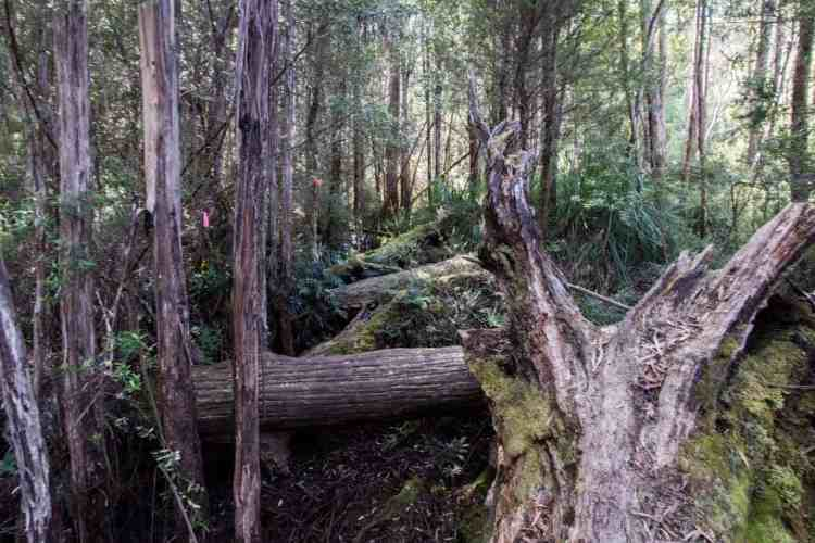 Tasmania Federation Peak Track Blowdowns
