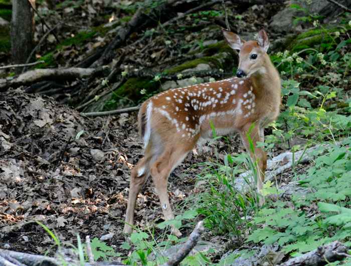 Paul Gray Diamond   Fawn Curiosity   Photograph