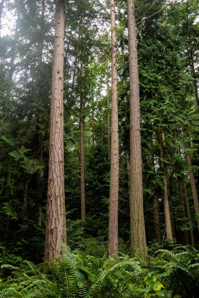 towering forests in washington state