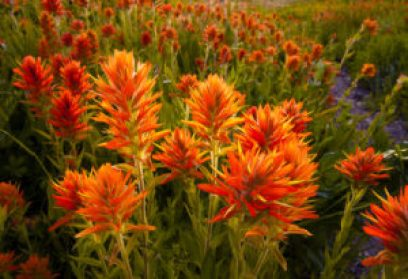 08, Indian Paintbrush (CSTM WB), Albion Basin–UT