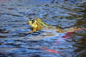 A Frog Swimming in Water