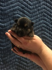 Blk/tan Female AVAILABLE