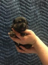 Blk/tan Male RESERVED