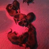 Active LOUD puppies!