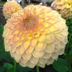 Westerton Southside Small Decorative Dahlia
