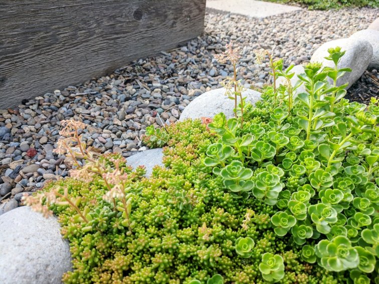 Sedum ground cover around raised bed landscaping