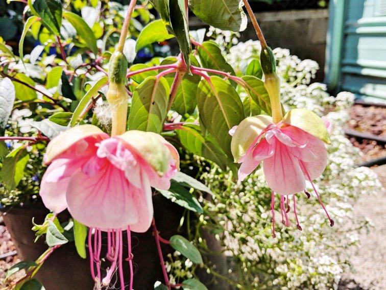 light pink fuchsia flowers