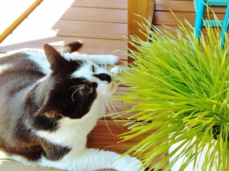 Cat enjoying fresh cat grass