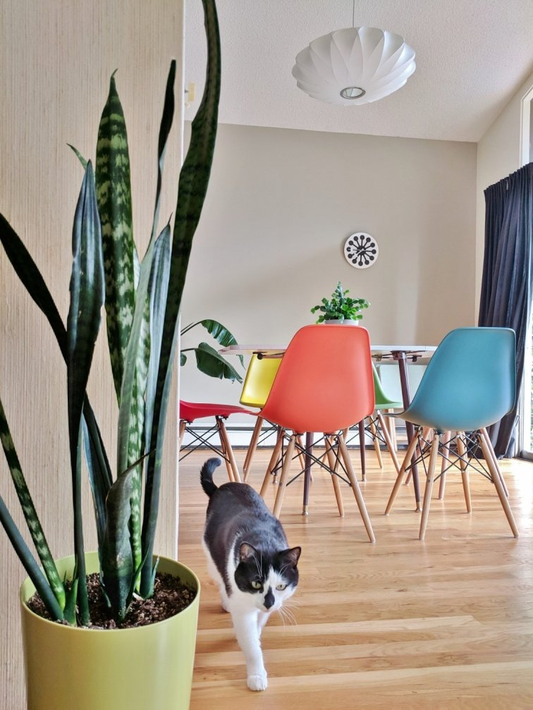 Snake plant in mid-century house