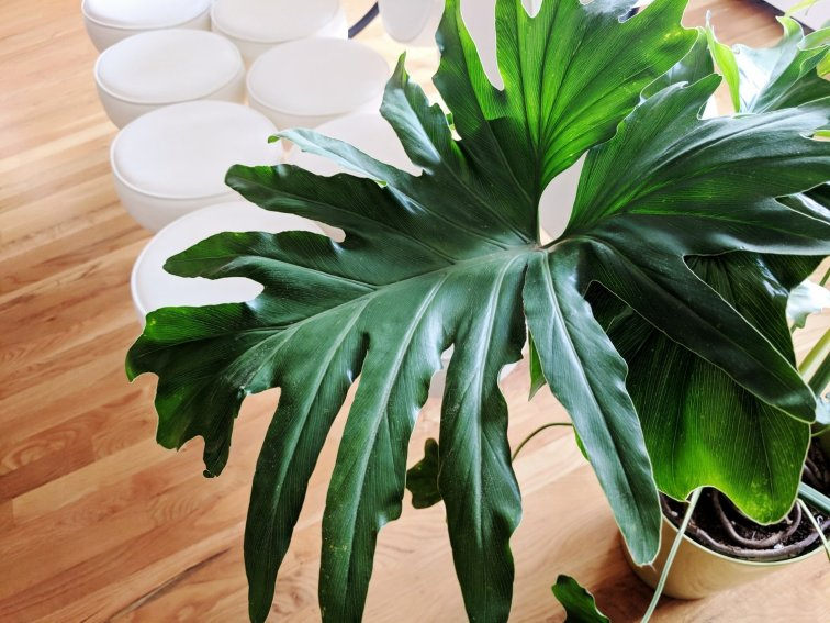 Split leaf philodendron houseplant