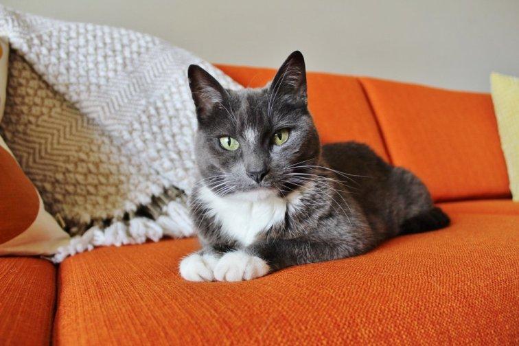 Gray cat on an orange mid-century modern couch