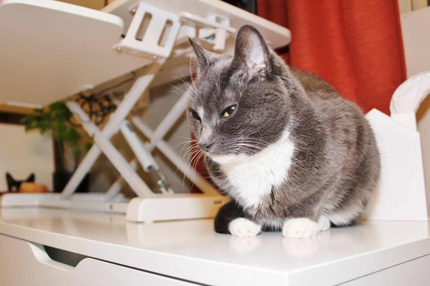 Cat on desk with standing desk converter in background