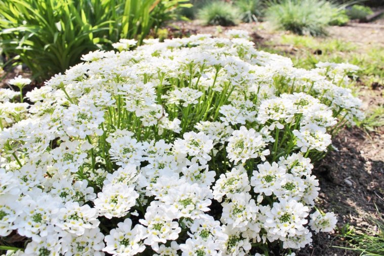 Candytuft evergreen plant (Iberis Sempervirens), a mounding ground cover plant with tiny white flowers in the spring