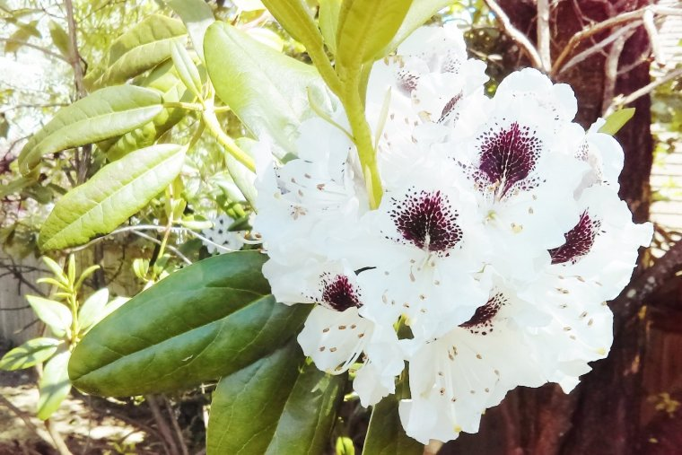 The rhododendron is a tough evergreen shrub with colorful spring blooms