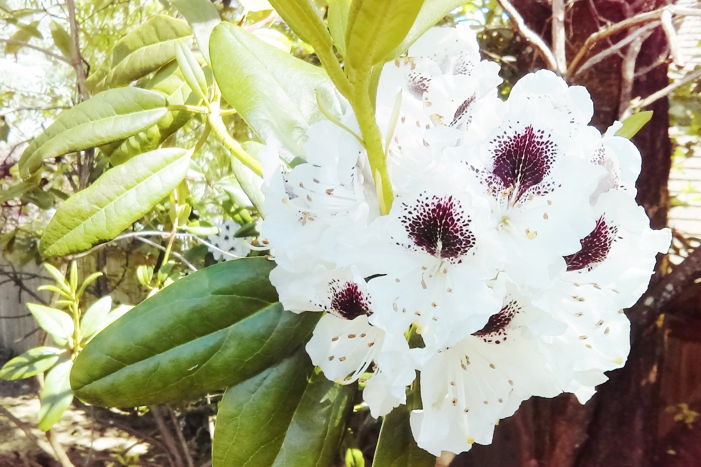 White and speckled rhododendron