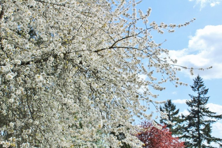 Cherry tree flowering in the spring