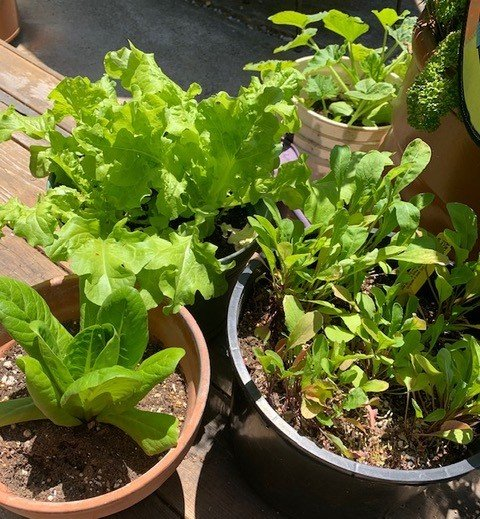 Lots of lettuce and veggies in container garden